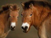 સાત લાખ વર્ષ જૂનો પ્રાચીન ઘોડો, વૈજ્ઞાનિકોને મળ્યા ડીએનએ