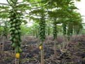 માંગરોળના ખેડૂતે પપૈયામાં ડ્રિપ ઇરિગેશન કરી વાર્ષિક 6 લાખ આવક મેળવી