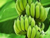 જાણો, શું થાય છે જયારે તમે રોજ ખાઓ છો કાચ્ચા કેળા?