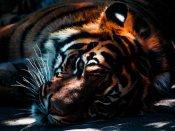 International Tiger Day- શું વાધ એક બિલાડી છે?
