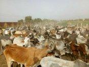 બનાસકાંઠામાં ઘાસચારાના અભાવે પાંજરાપોળની સેંકડો ગાયો રસ્તા પર છોડી મુકી
