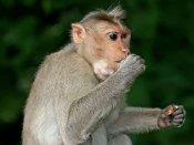 વૈજ્ઞાનિકોએ અગિયાર વાંદરાઓમાં માનવ મગજના જનીનો દાખલ કર્યા, બદલી આ આદતો