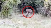 જંગલમાં અજગર અને દીપડા વચ્ચે થઈ ખતરનાક લડાઈ, Videoમાં જુઓ કોણ જીત્યું