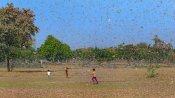 લૉકડાઉન વચ્ચે ખેડૂતોને બમણો માર, અમરેલીમાં તીડનું આક્રમણ