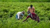 કોરોના સંકટમાં સરકારે ખેડૂતોને રાહત આપી, આ 14 પાકનો ટેકાનો ભાવ વધાર્યો
