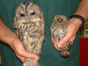 Owl Bird S Population Going Down In Gujarat