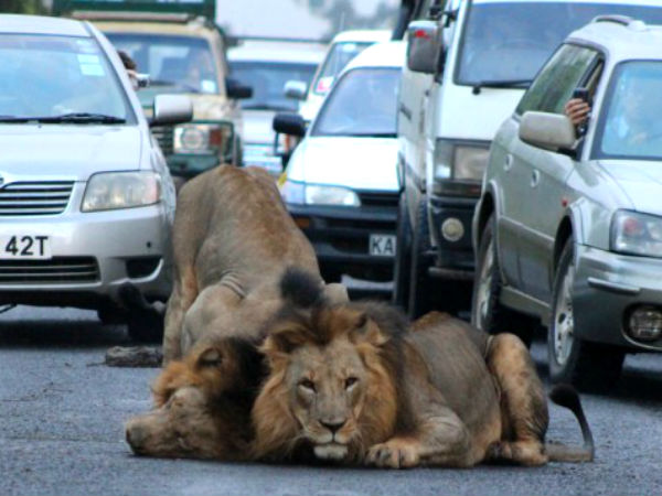 Lions Stop Traffic On Nairobi Highway