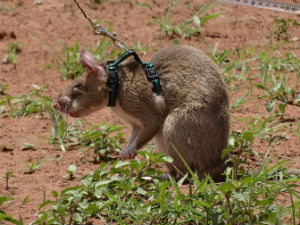 Mouse Created To Detect Landmines