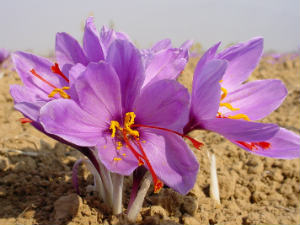 Anand Agri Uni Successfully Cultivated Kashmiri Saffron