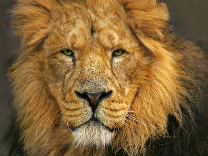 asiatic-lion