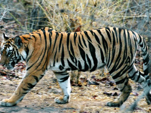 Tigers Are Increasing In India Says Jayanth Natarajan