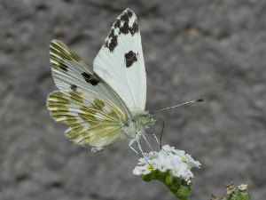 Mistake Gave India A New Species Of Butterfly