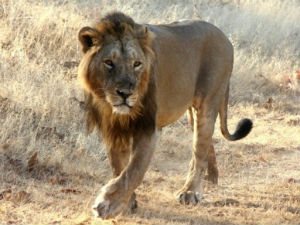 Guj Tourists May Get To See Asiatic Lions In Amreli