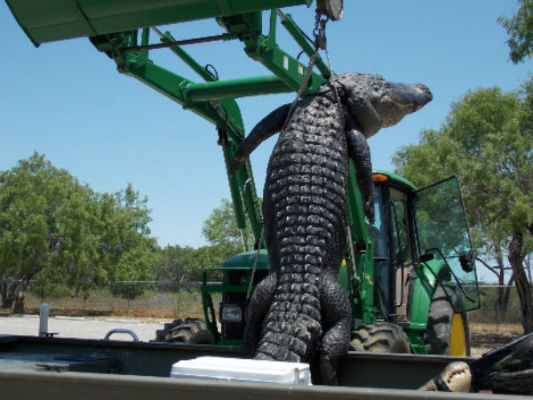 Foot Largest Alligator Caught