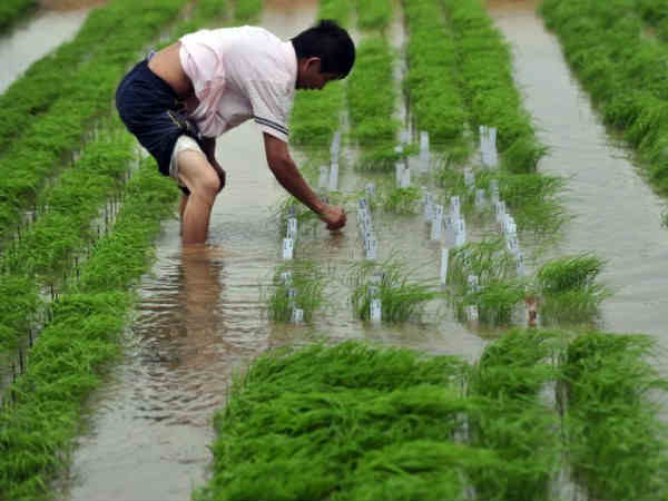China Is Producing Toxic Rice