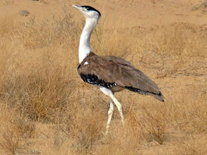 Wii Track Great Indian Bustard Satellite