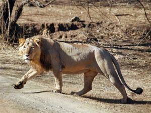 Separate Lion Reserve Proposed Bhavnagar