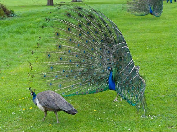 Why Peahen Has Crush On Peacock Feather