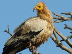 Egyptian-vultures