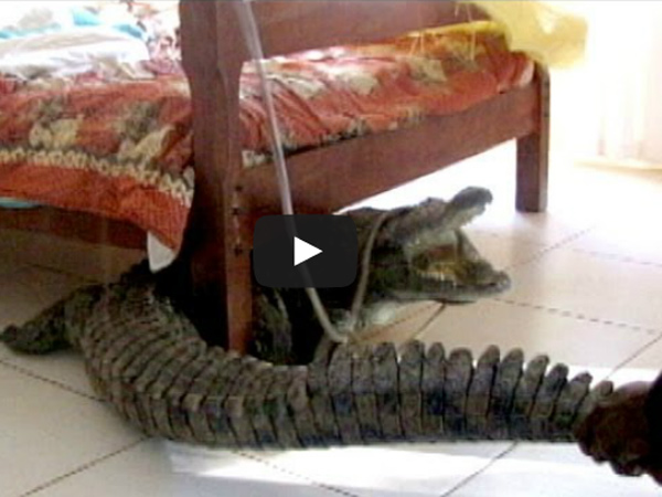 Crocodile Found Under Hotel Bed