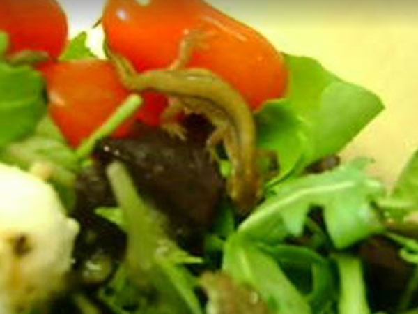 Live Newt Tomato Mozzarella Salad