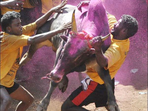 Jallikattu The Festival Bull Taming