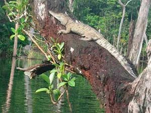 Crocodiles Can Climb Trees Researchers