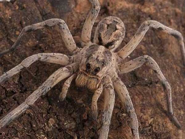 Do Humans Have Spiders Genes