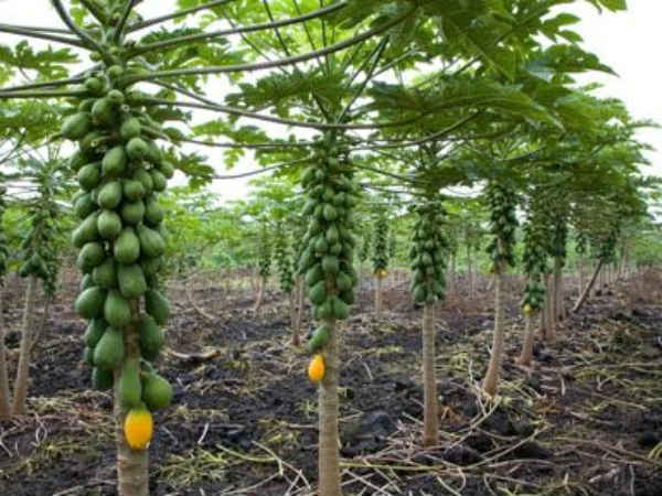 Mangrol Farmer Framing Papaya Using Drip Irrigation Got 6 Lakh Annual Income