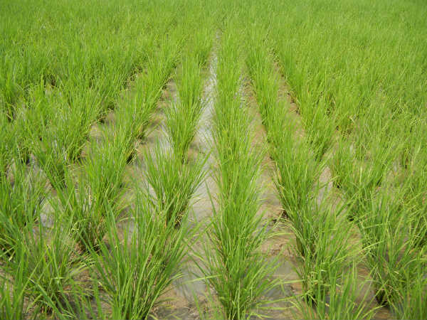 rice production The california rice commission supports the water bond scheduled for the november, 2018 ballot learn more about the bond at wwwwaterbondorg sacramento, ca.