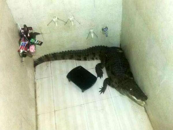 Gujarat Sojitra Family Shocked To Find 5 Feet Crocodile In Bathroom