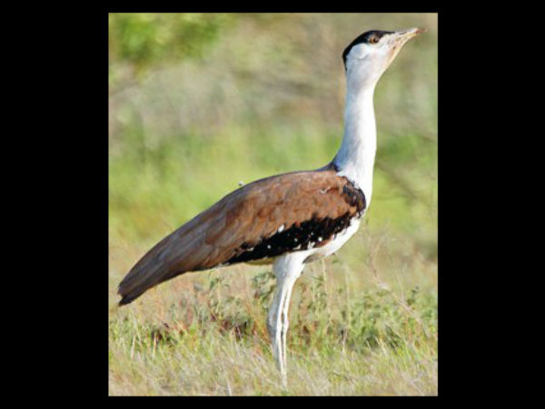 great-indian-bustard-ghorad