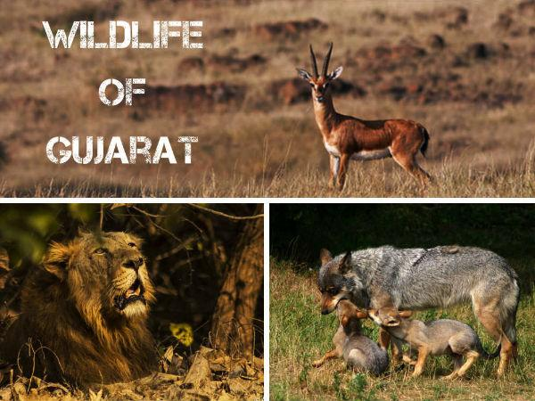 Scintillating Wildlife Sanctuaries Gujarat