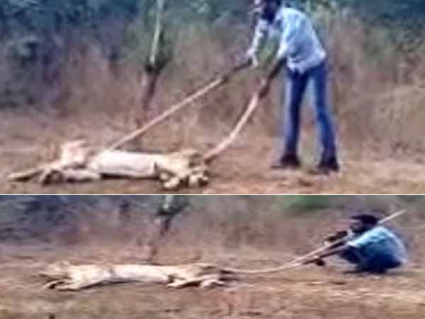 Forest Department Probing This Clip Lioness