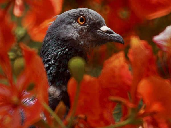 Pigeon With Microchip Found Gujarat Ats On Alert