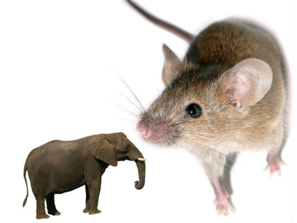 Omg Mouse Has Larger Sperm Size Than Elephant