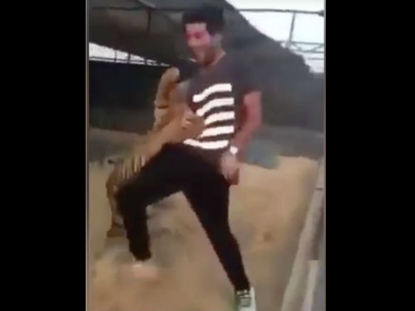 Tiger Attacks Man After He Tries To Play With It Video Goes Viral