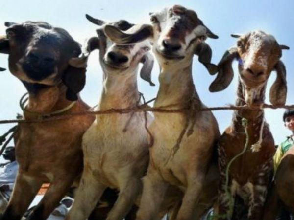 Bakri Eid Today Rss S Muslim Unit Plans Cut Goat Shaped Cake