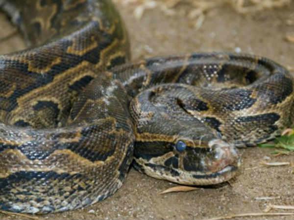 Python Swallows Nilgai Junagadh Distric In Gujarat