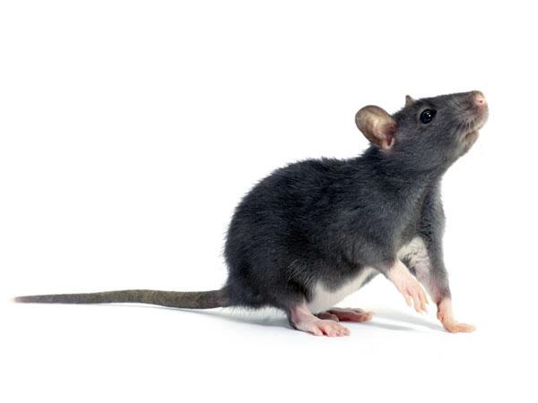 Rat Race Jakarta Offers Rewards To Catch Rodents