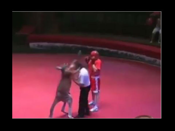 Viral Video Man And Kangaroo Fight Match