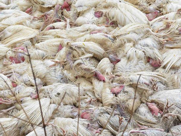 Bird Flu Report Came Positive Ahmedabad Memnagar Area