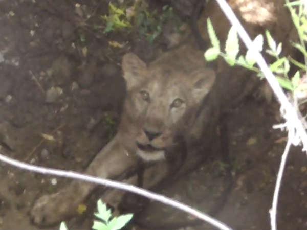 Video Viral Gujarat Gir Lioness Wild Boar Amazing Video