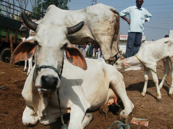 Gujarat Cow Slaughter Is Punishable Life Sentence