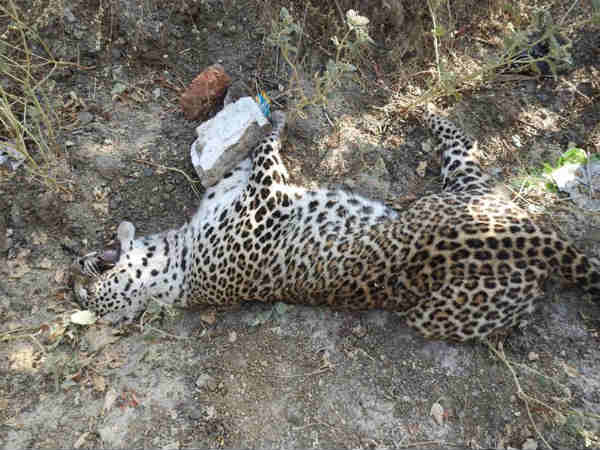 Gujarat One Leopard Killed At Surat Other One Saved At Amreli