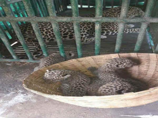 Leopard Caught Along 4 Cubs At Valia
