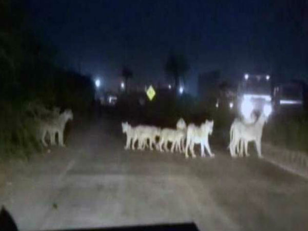 Video What Do When You See 12 Lion Front You