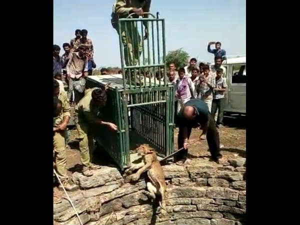 Gir Lion Cub Rescued Forest Department