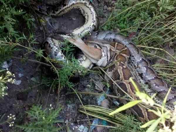 A Giant Python Ate Jackal Forest Bahraich