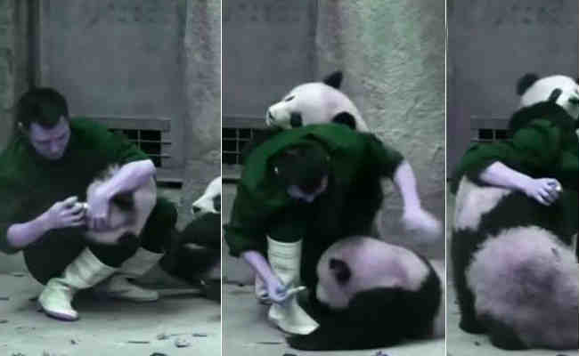 Two Pandas Refusing Take Medicine